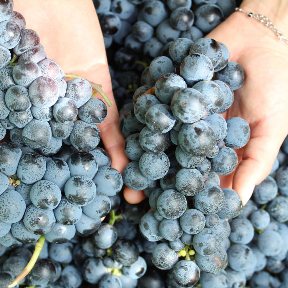 Le uve migliori per un vino di razza
